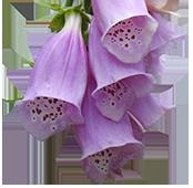 Ferns Lodge Garden Flower