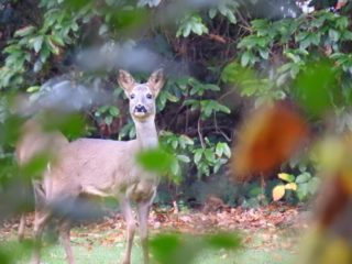 A Sika deer comes visiting. | NGS Garden Ferns Lodge
