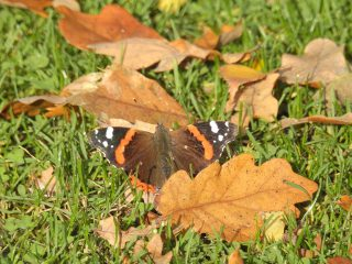 A Red Admiral butterfly relaxes. | NGS Garden Ferns Lodge