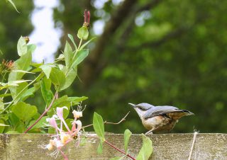 Honeysuckle provides a tasty morsel. | NGS Garden Ferns Lodge