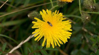 Dandelions abound I am afraid. | NGS Garden Ferns Lodge