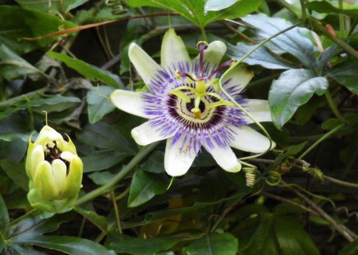 Passion flower does well at Ferns Lodge - Ferns Lodge Garden
