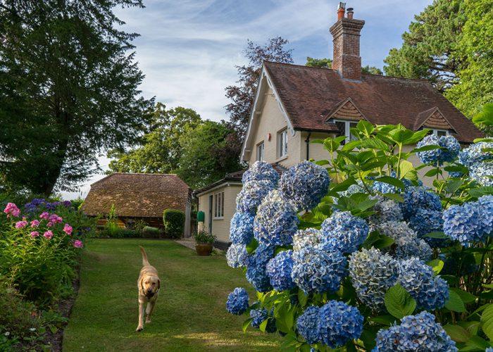 Great blue hydrangea in the top garden - Ferns Lodge Garden