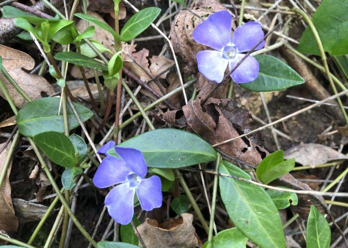 Periwinkle - Ferns Lodge Garden