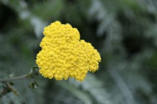 Our only yellow - they flower for weeks. | NGS Garden Ferns Lodge