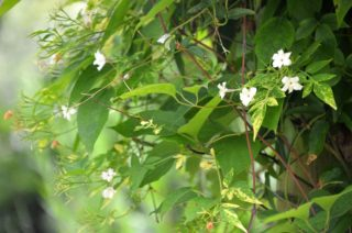 Jasmine with its subtle white flowers and heavenly scent. | NGS Garden Ferns Lodge
