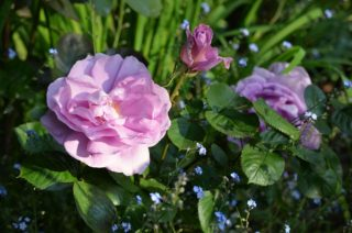 Delicate English roses bloom for the first time in May. | NGS Garden Ferns Lodge