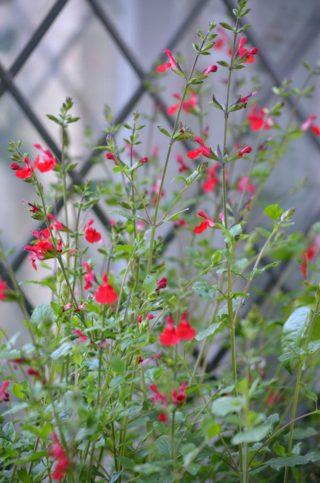 A red lips salvia kisses the French doors of the Lodge House. | NGS Garden Ferns Lodge