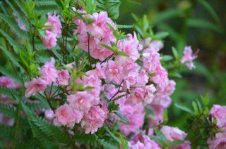 Lovely pink azaleas. | NGS Garden Ferns Lodge