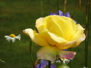 Yellow rose in the top garden. It really is summer time. | NGS Garden Ferns Lodge