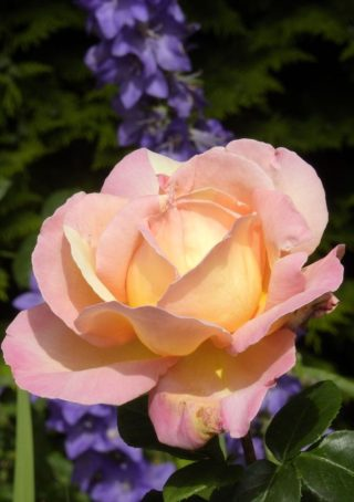 Delicate pink rose opening. | NGS Garden Ferns Lodge