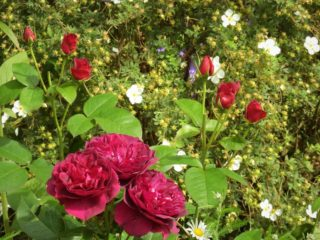 Clusters of red roses. | NGS Garden Ferns Lodge