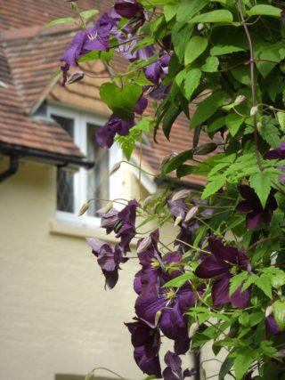 Clematis runs riots. | NGS Garden Ferns Lodge