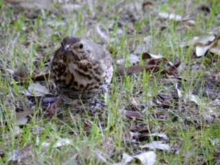 A friendly thrush watches gardening happening. | NGS Garden Ferns Lodge