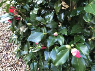 Camellias do well here and flower early in the Spring. | NGS Garden Ferns Lodge