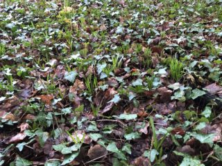 The promise of blue bells to come in the wild garden. | NGS Garden Ferns Lodge