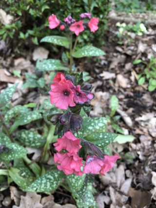 The first campion of the spring. | NGS Garden Ferns Lodge