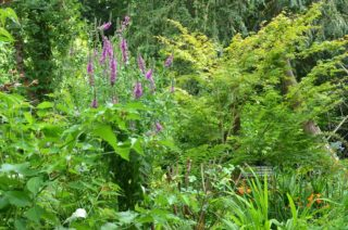 Acer, many foxgloves and a riot of colour in our new big bed at the entrance to the garden in restoration. | NGS Garden Ferns Lodge