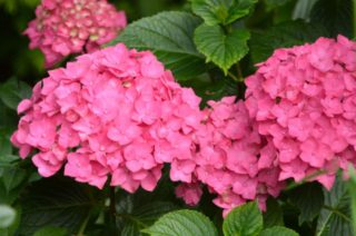 Hydrangeas in the top garden in vivid pink. | NGS Garden Ferns Lodge