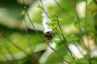 The bees also love the many salvias around the top garden. | NGS Garden Ferns Lodge