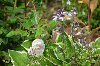 Hostas and roses in the top garden. | NGS Garden Ferns Lodge