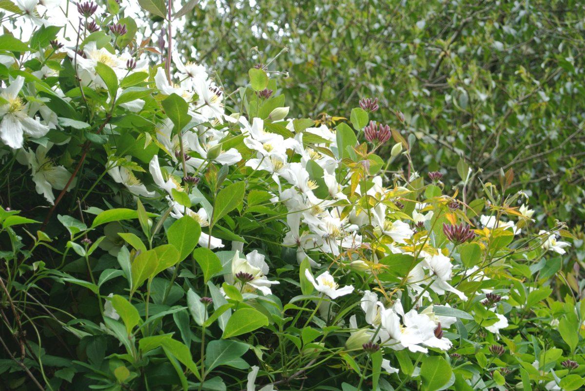 rhododendron-season-8